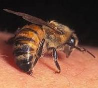 Как действует пчелиный яд при аллергических реакциях