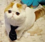 коты-экзоты
